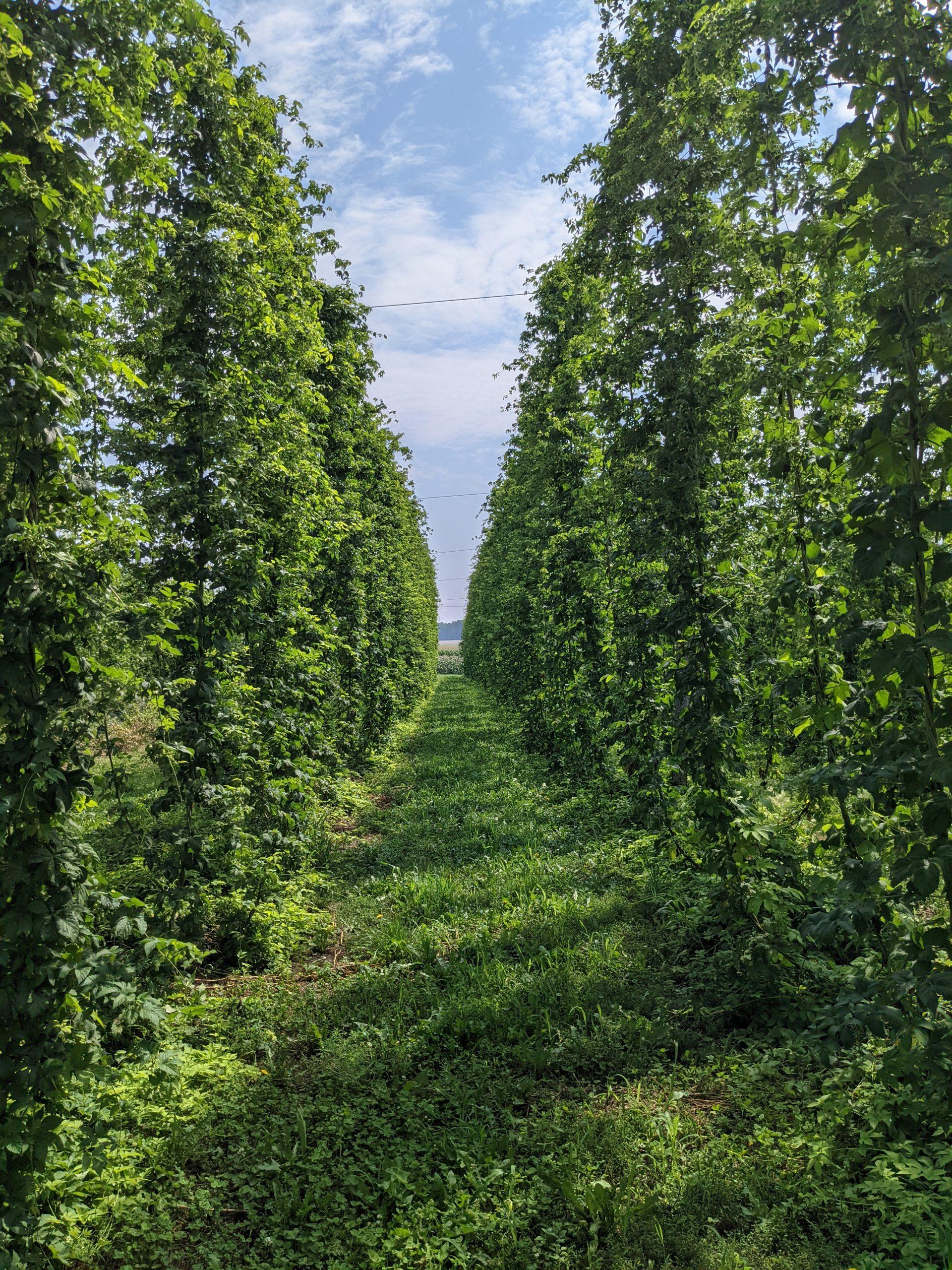 South Dakota Hops Harvest Approaching